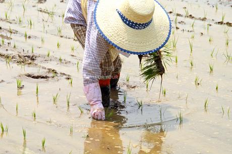 水田で苗を手植えする一人の女性の写真の写真素材 [FYI00412550]