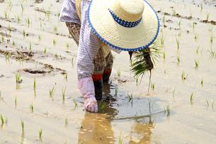 水田で苗を手植えする一人の女性の写真の素材 [FYI00412550]