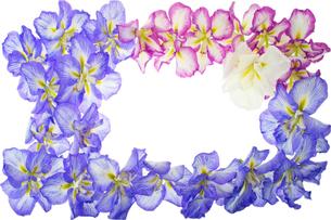 ハナショウブのフレーム 花の枠の写真の写真素材 [FYI00412569]