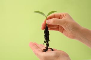 新芽の根と女性の手の写真の素材 [FYI00412577]