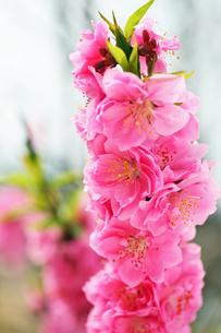 満開の花 八重ハナモモの写真の写真素材 [FYI00412585]