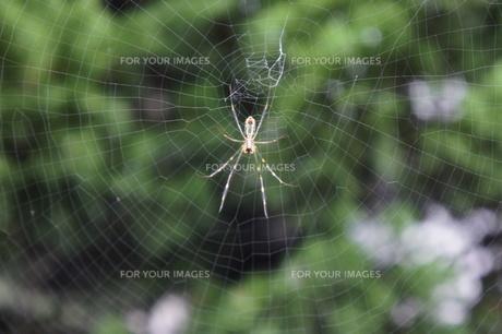 蜘蛛と蜘蛛の巣の写真素材 [FYI00412658]