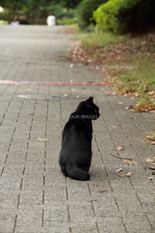 黒猫の写真素材 [FYI00412763]