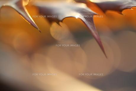 柊の葉の写真素材 [FYI00412868]