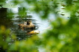 鴨の生態の写真素材 [FYI00412988]