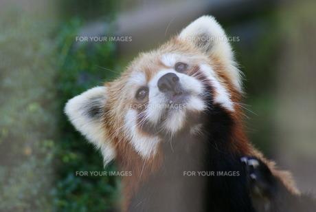 遠い目のレッサーパンダの写真素材 [FYI00413094]