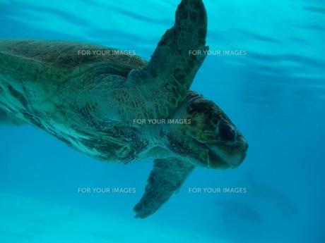 沖縄のウミガメの写真素材 [FYI00413183]