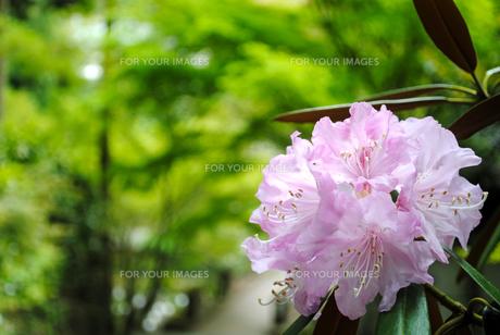 石楠花の素材 [FYI00413197]