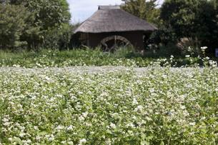 そばの花の写真素材 [FYI00413234]