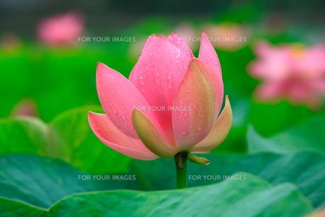 蓮の開花の素材 [FYI00413260]