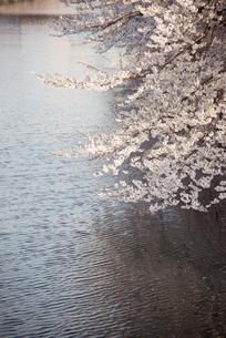 桜と川面の写真素材 [FYI00413670]