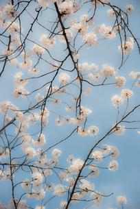 桜と青空の写真素材 [FYI00413672]