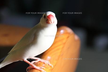 白文鳥の写真素材 [FYI00413737]