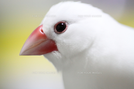 白文鳥の写真素材 [FYI00413789]