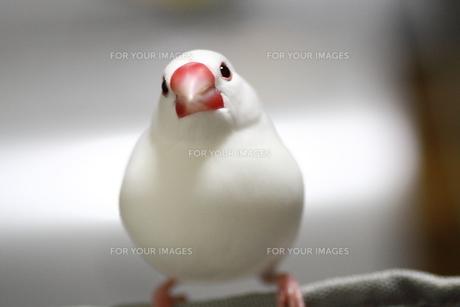白文鳥 ハクの写真素材 [FYI00413792]