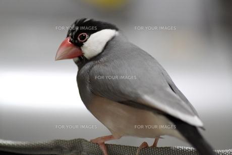 文鳥 ミカゲの写真素材 [FYI00413799]