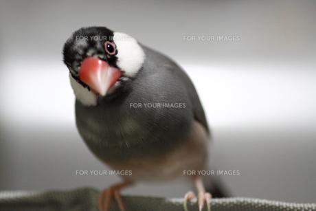 文鳥の写真素材 [FYI00413813]