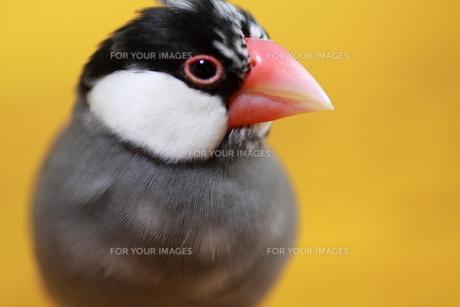 桜文鳥の写真素材 [FYI00413818]