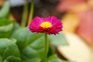デージー雛菊ピンクの写真素材 [FYI00413992]