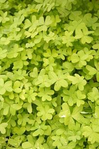 ハートの形の緑葉たくさんの写真素材 [FYI00414036]