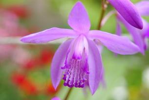 紫色の蘭の花の写真素材 [FYI00414053]