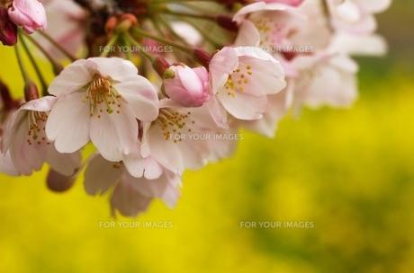 桜と菜の花の写真素材 [FYI00414124]