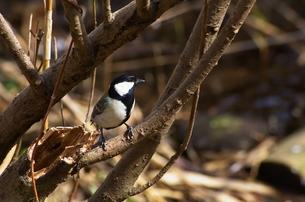 シジュウカラが藪の中の写真素材 [FYI00414134]