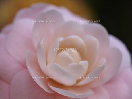 花の素材 [FYI00414227]