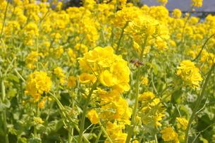 美しい菜の花の素材 [FYI00414274]