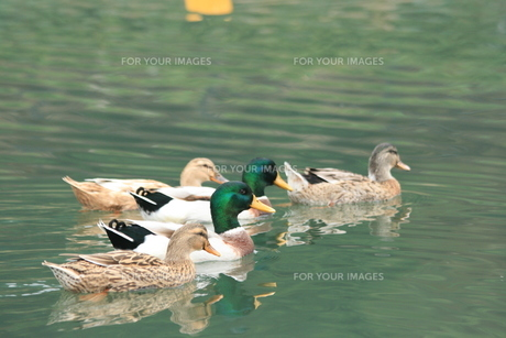 川面の鳥の素材 [FYI00414276]