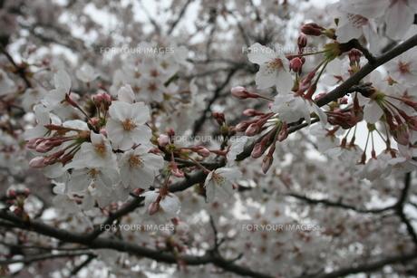 桜の素材 [FYI00414312]
