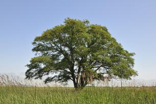 ハルニレの木の写真素材 [FYI00414443]