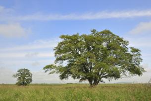 ハルニレの木の写真素材 [FYI00414476]