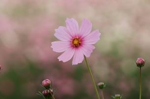 一輪の秋桜の写真素材 [FYI00414520]