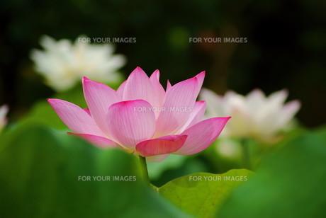 ピンクの蓮の写真素材 [FYI00414725]
