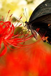 黒アゲハと赤白彼岸花の写真素材 [FYI00414772]