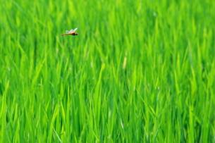 稲田と赤とんぼの飛翔の素材 [FYI00414777]