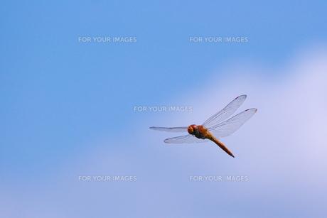 ナツアカネの飛翔と青空の素材 [FYI00414783]