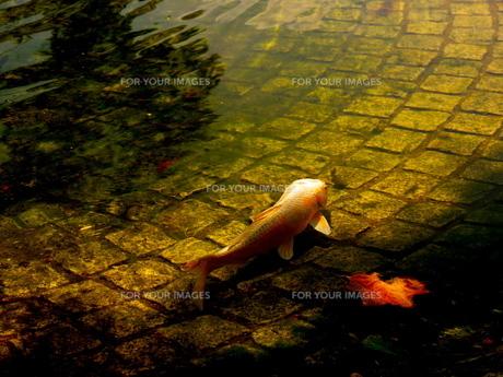 落ち葉と鯉の素材 [FYI00414796]