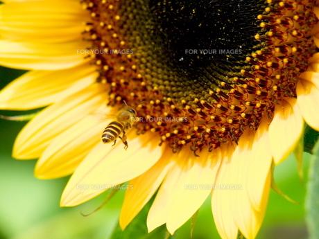 向日葵の蕊とミツバチの素材 [FYI00414850]