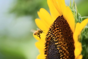 向日葵とミツバチの素材 [FYI00414859]