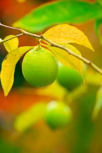 檸檬の木の素材 [FYI00414869]