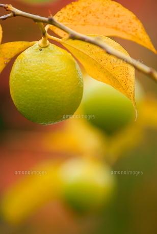 レモンの木の素材 [FYI00414870]