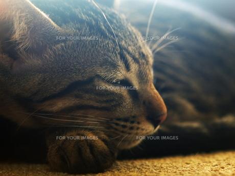陽射しの中で眠る猫の素材 [FYI00414949]