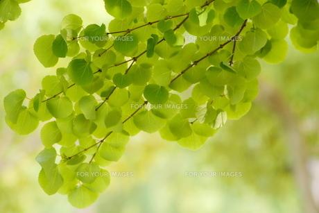 かつらの新緑の写真素材 [FYI00414971]