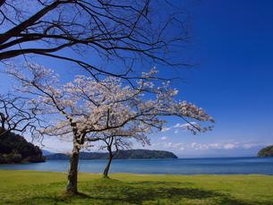 近江八幡宮ヶ浜の桜の素材 [FYI00415028]