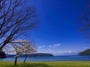 宮ヶ浜の桜の素材 [FYI00415039]