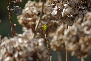 紫陽花の新芽の写真素材 [FYI00415189]