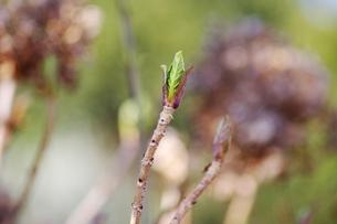 紫陽花の新芽の写真素材 [FYI00415192]