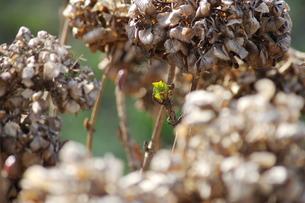 紫陽花の新芽の写真素材 [FYI00415199]